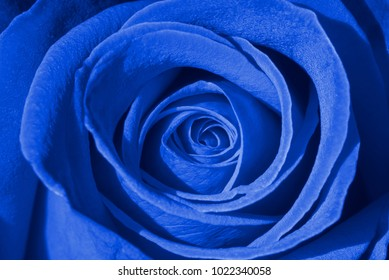 Blue rose background, macro shot of fresh rosa for symbol of love, prosperity, or immortality concept
