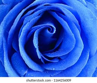 Blue rose bud close-up. Rose petals.