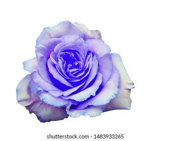 Blue rose close up view on white background isolated, single flower