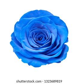 Blue rose closeup isolated