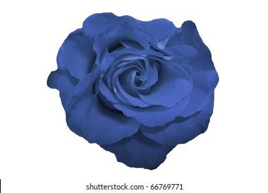 Blue Rose Flower Isolated on White