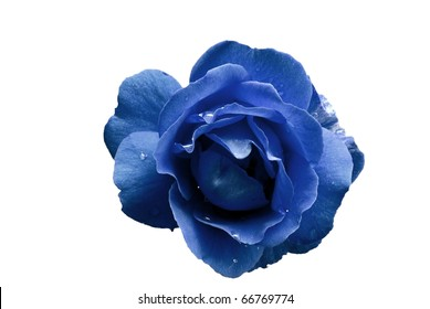 Blue Rose Flower with Water Droplets Isolated on White