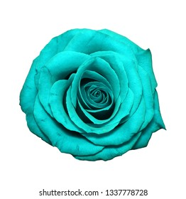 Blue Rose head isolated on white. Colorful rose flower head fully open blooming. Top view. Garden flowers