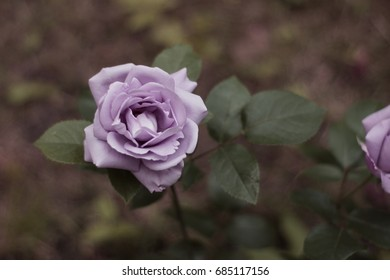 "Blue rose. ""Indigoletta (Azubis, Blue Lady, Morvana, Blue Queen)"" rose."