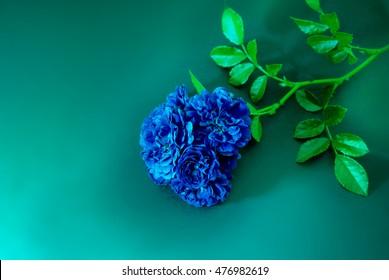 Blue rose on a blue background