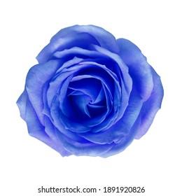 Blue rose on white isolated background.