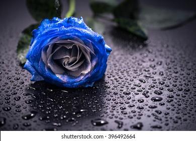 Blue rose, water drops, close-up, macro.