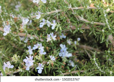 blue rosemary flowers on a plant