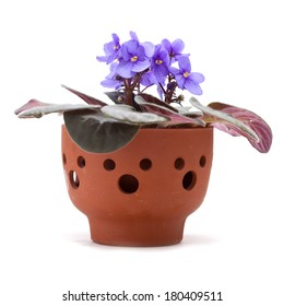 blue saintpaulia in a clay pot isolated on white