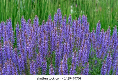 Blue Salvia (salvia farinacea) flowers blooming in the garden. Violet sage flowers. Background of lilac wildflowers.