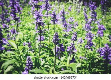 Blue Salvia flower blooming in the spring garden / salvia farinacea