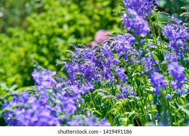 blue salvia flower in blossom