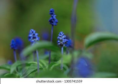 Blue Salvia flower in the garden