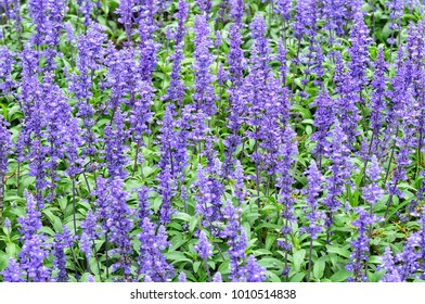Blue salvia flower planting in the garden. Blue Salvia flower is a symbol of nostalgia. Purple is a symbol of success prosperity and peace.