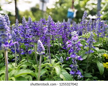 Blue salvia flowers and blur background.