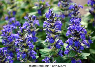Blue salvia flowers with green leaves, soft blurry background