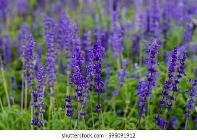 Blue sal-via in garden.