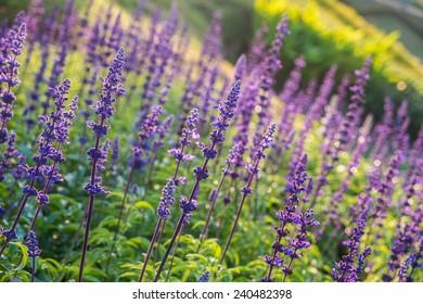 blue salvia garden, lopsidedly