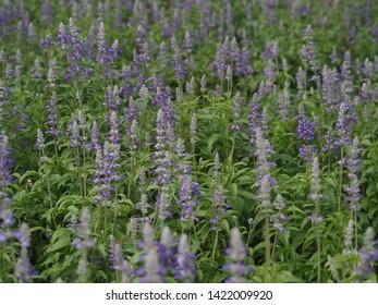 Blue salvia purple flowers. Salvia flowers in the garden.