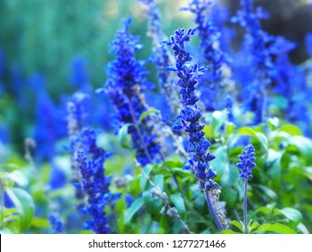 Blue salvia, blue sage flower, salvia farinacea, mealycup sage, mealy sage growing in garden