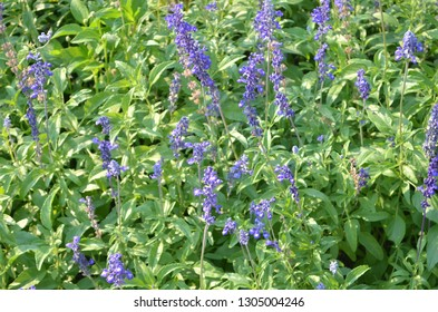 Blue Salvia, or blue salvia scarlet,  violet flowers, pinkish-purple flowers produced on spikes at the top of slender, leafless stems