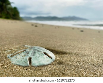 Blue sand dollar washed up on a brown sandy beach partially buried in sand in the morning overcast with distant mountains, palm trees and waves lapping the shore in the background