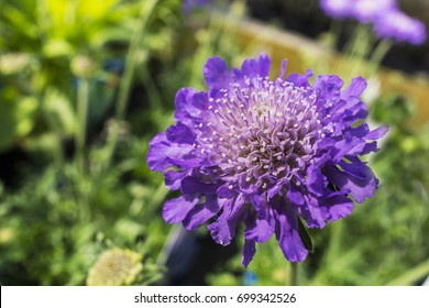Blue Scabiosa (Pin Cushion flower) flowering plant close-up.