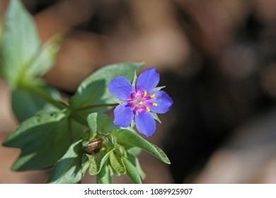 blue scarlet pimpernel flower Latin anagallis arvensis azurea sometimes known as poor man's barometer, red chickweed or shepherd's weather glass in a meadow in springtime in Italy