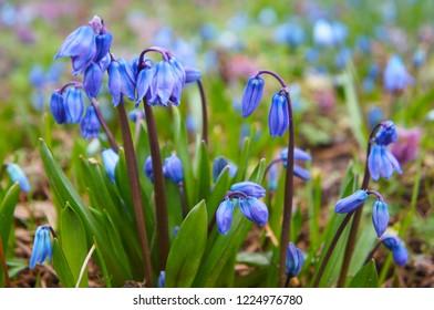 Blue scilla siberica or scilla siberica early flowers