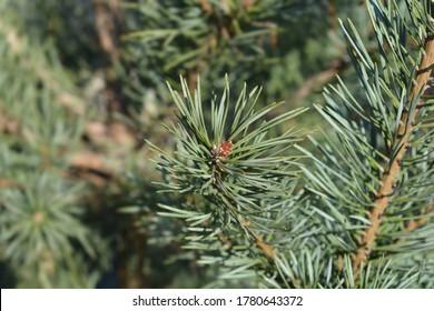 Blue Scots pine - Latin name - Pinus sylvestris Glauca