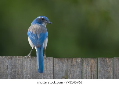 A blue scrub jay on a fence looking back over its shoulder