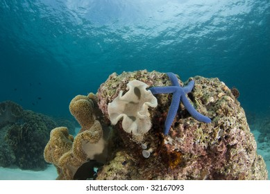 Blue Sea Star (Linckia laevigata) on a coral head underwater with the partly cloudy sky visible obove the water's surface.