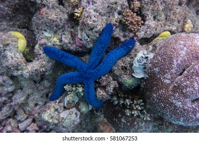Blue sea star resting on coral on the Great Barrier Reef.