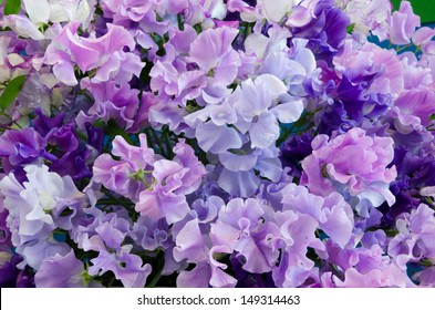 Blue shades of Spencer Sweet Peas