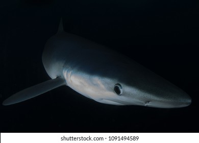 Blue Shark emerges from the shadows on a night dive off San Diego, California.