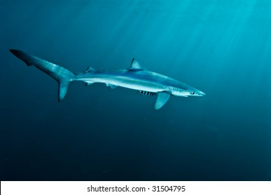 Blue shark, Ganasbaai, Western Cape, South africa
