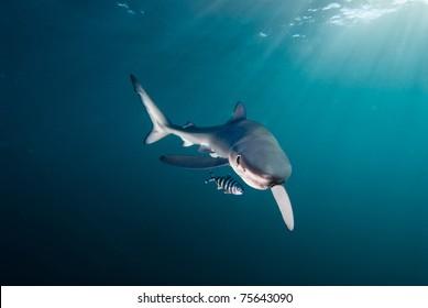 Blue shark, Gansbaai, Western Cape, South Africa