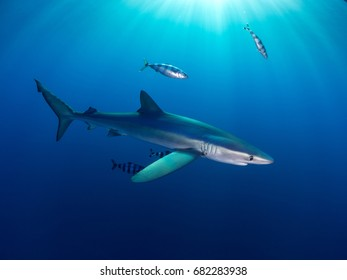 A blue shark and its pilot fish near the surface