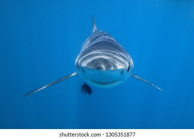 blue shark, Prionace glauca, accompanied by pilot fish, Naucrates ductor, off Cape Infanta, South Africa, Indian Ocean