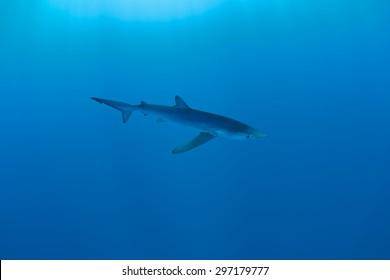 Blue Shark - Prionace glauca, Azores