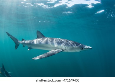 A Blue shark (Prionace glauca) cruises through the sunlit waters of the Atlantic Ocean. These sleek, oceanic predators are found throughout the world in tropical and temperate seas.