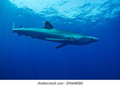 Blue Shark - Prionace glauca , Pico island, Azores.
