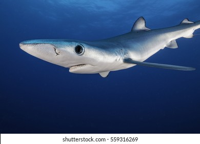 Blue shark swimming in open blue water about 50 kilometres offshore past Western Cape, South Africa.
