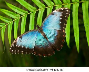 Blue shiny butterfly (Morpho peleides) on a palm leaf