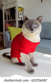 A blue Siamese cat wearing a red sweater in the living room