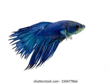 Blue siamese fighting fish, Beta fish on white background.