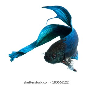 blue siamese fighting fish, betta fish isolated on white