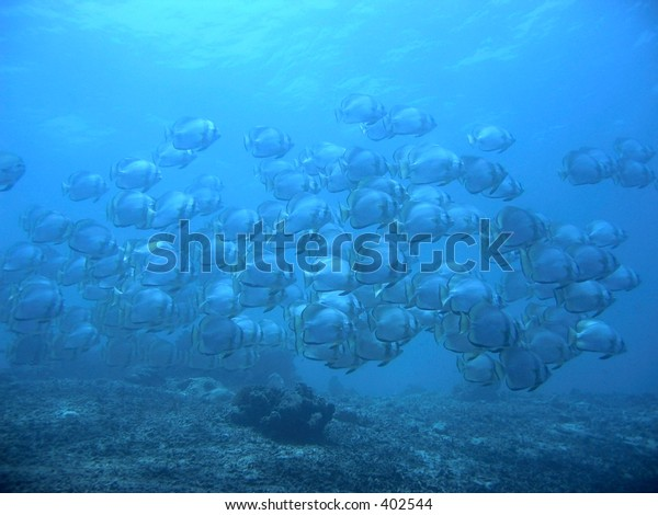 Blue silhouette - Batfish