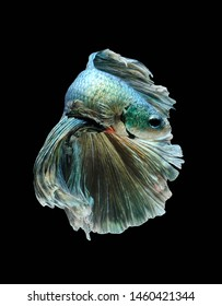 Blue and silver Betta fish,Siamese fighting fish,siamese fighting fish betta splendens (Halfmoon betta,Betta splendens Pla-kad ( biting fish) isolated on black background