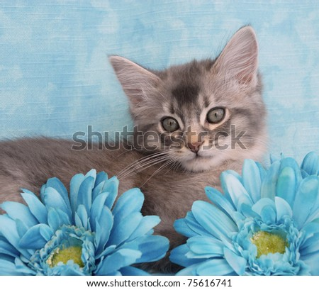 44d277acec9 Blue Silver Somali Kitten Rests Amongst Stock Photo (Edit Now ...